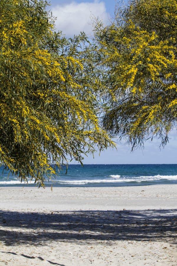 Δύο δέντρα mimosa κάνουν μια αψίδα που ενεργεί ως είσοδος στην άσπρη παραλία με το μπλε της θάλασσας και του ουρανού στο υπόβαθρο στοκ φωτογραφία με δικαίωμα ελεύθερης χρήσης