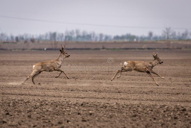 Δύο ελάφια που τρέχουν. Καπρέλος Î¿ Καπρέλος στοκ φωτογραφίες με δικαίωμα ελεύθερης χρήσης