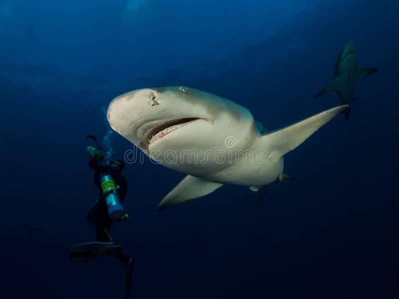 Δύο επικίνδυνοι καρχαρίες λεμονιών κολυμπούν γύρω από το υποβρύχιο καμεραμάν στο μπλε ωκεάνιο υπόβαθρο στοκ φωτογραφία με δικαίωμα ελεύθερης χρήσης