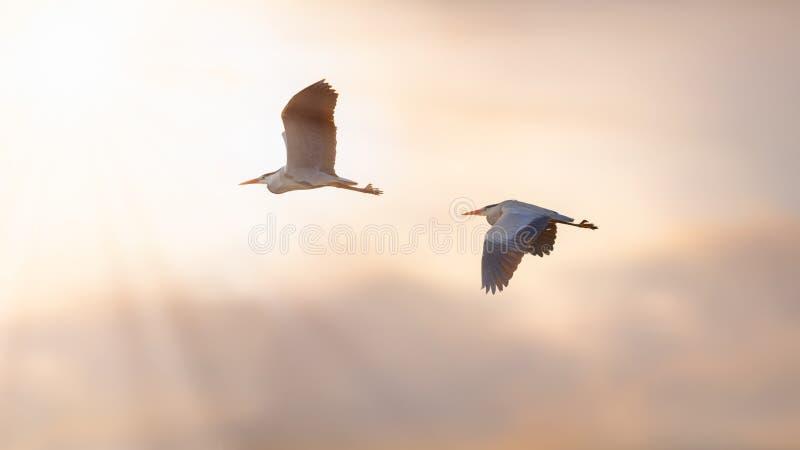 Δύο ερωδιοί κατά την πτήση στο ηλιοβασίλεμα στοκ φωτογραφίες με δικαίωμα ελεύθερης χρήσης