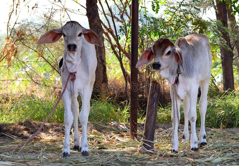 Δύο εσωτερικές αγελάδες μωρών - μόσχοι - έδεσαν στις θέσεις στο καταφύγιο - Goshala στην Ινδία στοκ εικόνα