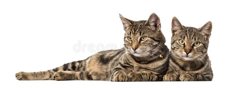 Δύο ευρωπαϊκές γάτες που βρίσκονται δίπλα-δίπλα, που απομονώνονται στοκ εικόνα με δικαίωμα ελεύθερης χρήσης