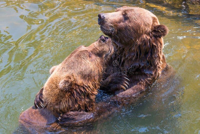 Δύο εύθυμες σταχτιές αρκούδες στοκ εικόνες