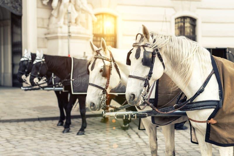 δύο ζευγάρια των άσπρων και μαύρων όμορφων αλόγων με τη μεταφορά στο ιστορικό κέντρο πόλεων της Βιέννης κοντά στο βασιλικό παλάτι στοκ φωτογραφίες
