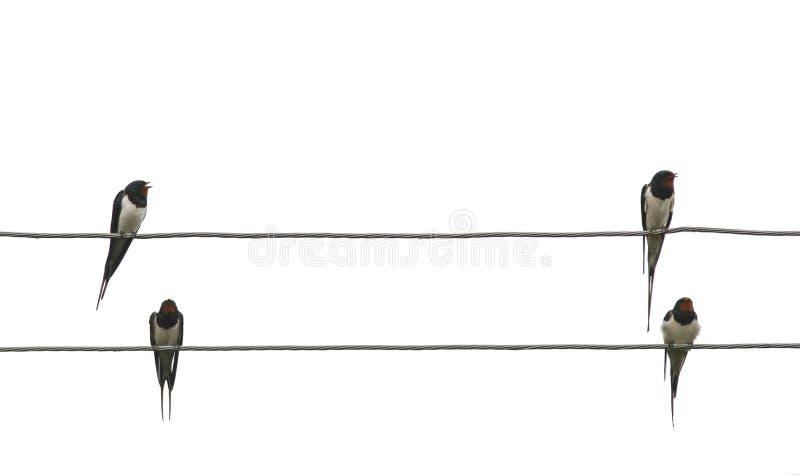 Δύο ζευγάρια των πουλιών αγροτικών καταπίνουν κάθονται στις άκρες των ηλεκτρικών καλωδίων απομονωμένο στο λευκό υπόβαθρο στοκ φωτογραφία