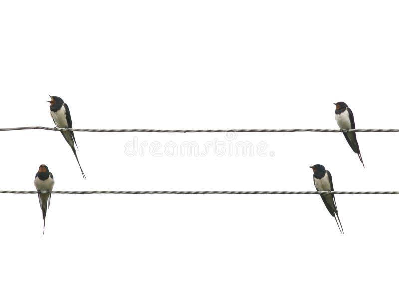 Δύο ζευγάρια των πουλιών αγροτικών καταπίνουν κάθονται στις άκρες των ηλεκτρικών καλωδίων απομονωμένο στο λευκό υπόβαθρο στοκ εικόνες