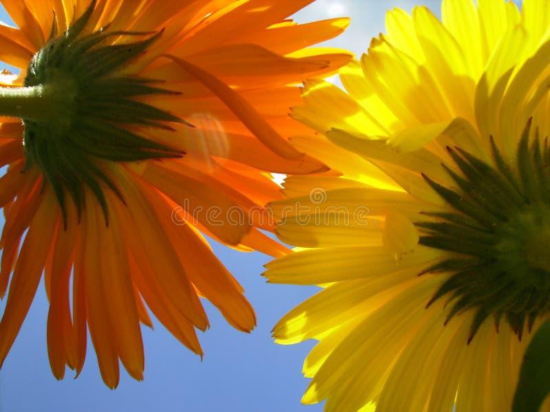 Δύο ζωηρόχρωμα λουλούδια στο υπόβαθρο ουρανού στη μακρο άποψη στοκ εικόνες