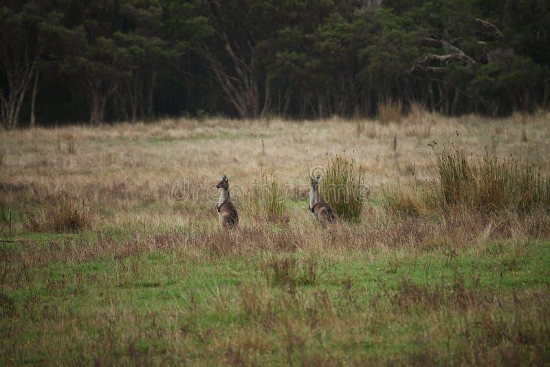 Δύο καγκουρό που κοιτάζουν έξω πέρα από έναν πράσινο τομέα στοκ φωτογραφίες με δικαίωμα ελεύθερης χρήσης