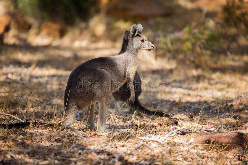 Δύο καγκουρό στις άγρια περιοχές στοκ φωτογραφίες με δικαίωμα ελεύθερης χρήσης