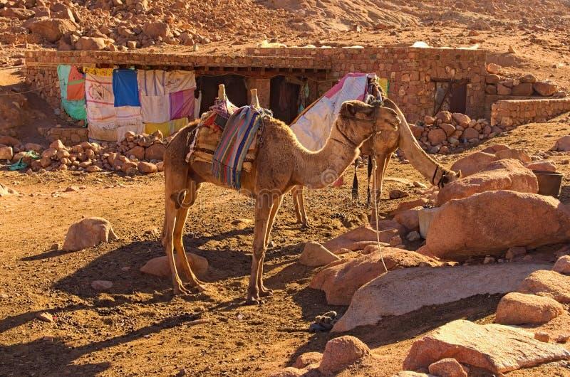 Δύο καμήλες περιμένουν τους τουρίστες να τους φέρουν στην κορυφή του υποστηρίγματος Sinai τοποθετούν Horeb, Gabal μούσα στοκ εικόνα με δικαίωμα ελεύθερης χρήσης