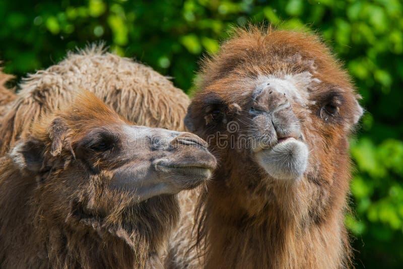 Δύο καμήλες στοκ εικόνες