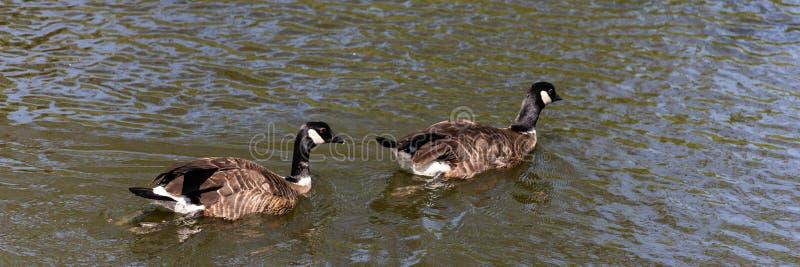 Δύο Καναδάς το canadensis Branta χήνων κολυμπά στο νερό στοκ εικόνες