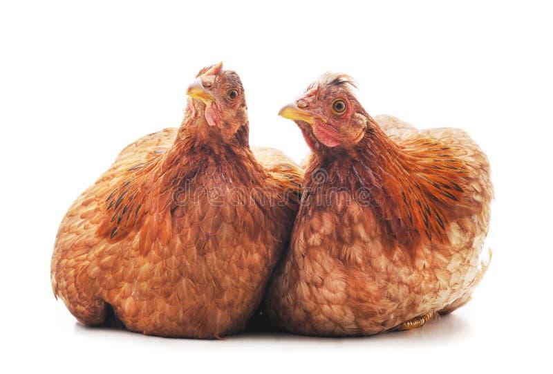 Δύο καφετιά κοτόπουλα στοκ εικόνα με δικαίωμα ελεύθερης χρήσης
