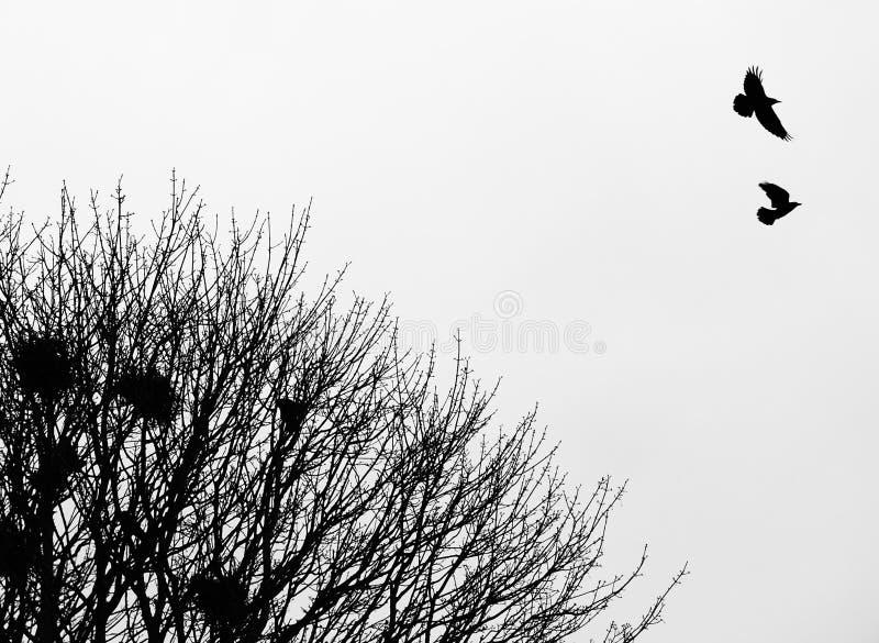 Δύο κοράκια που πετούν επάνω από τις φωλιές τους στην κορυφή ενός δασικού δέντρου την πρώιμη άνοιξη στοκ εικόνα