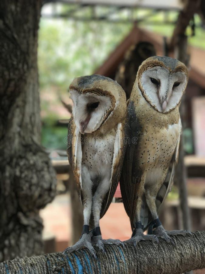 Δύο κουκουβάγιες σε ένα ραβδί εξετάζουν τη κάμερα στοκ φωτογραφία