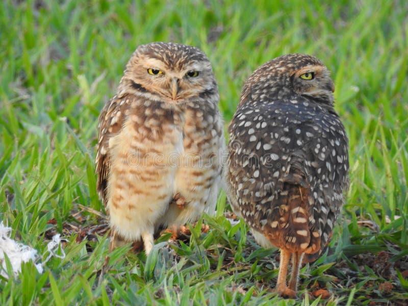 Δύο κουκουβάγιες Burrowing στοκ εικόνες με δικαίωμα ελεύθερης χρήσης