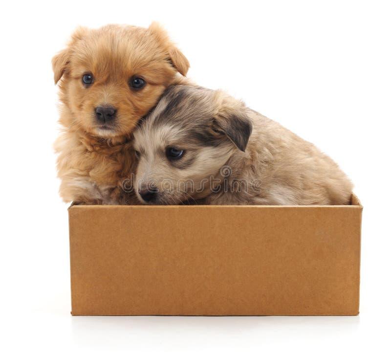 Δύο κουτάβια στο κιβώτιο στοκ εικόνες με δικαίωμα ελεύθερης χρήσης