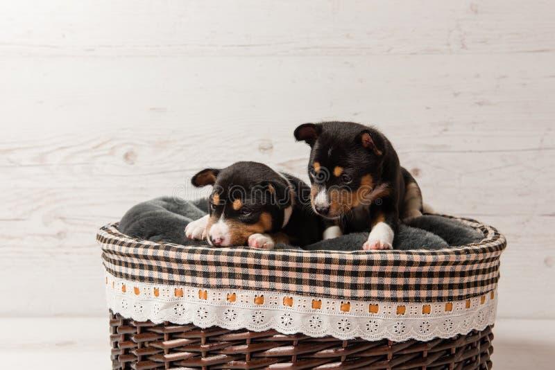 Δύο κουτάβια tricolor basenji στο καλάθι στοκ φωτογραφίες με δικαίωμα ελεύθερης χρήσης