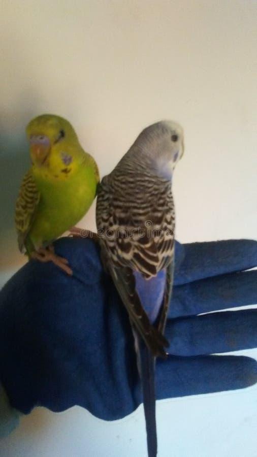 Δύο κυματιστοί παπαγάλοι στοκ εικόνα με δικαίωμα ελεύθερης χρήσης