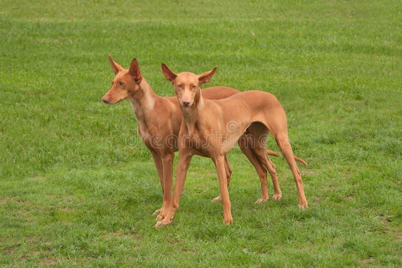 Δύο κυνηγόσκυλα Pharaoh στοκ εικόνες