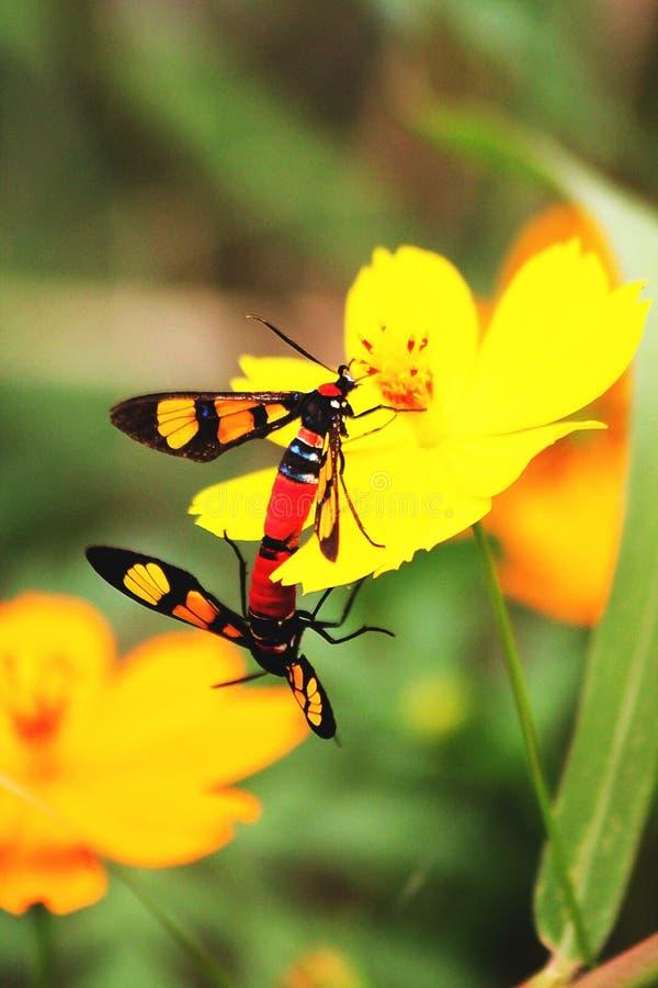 Δύο κόκκινα έντομα αναπαράγουν στα λουλούδια στοκ εικόνες