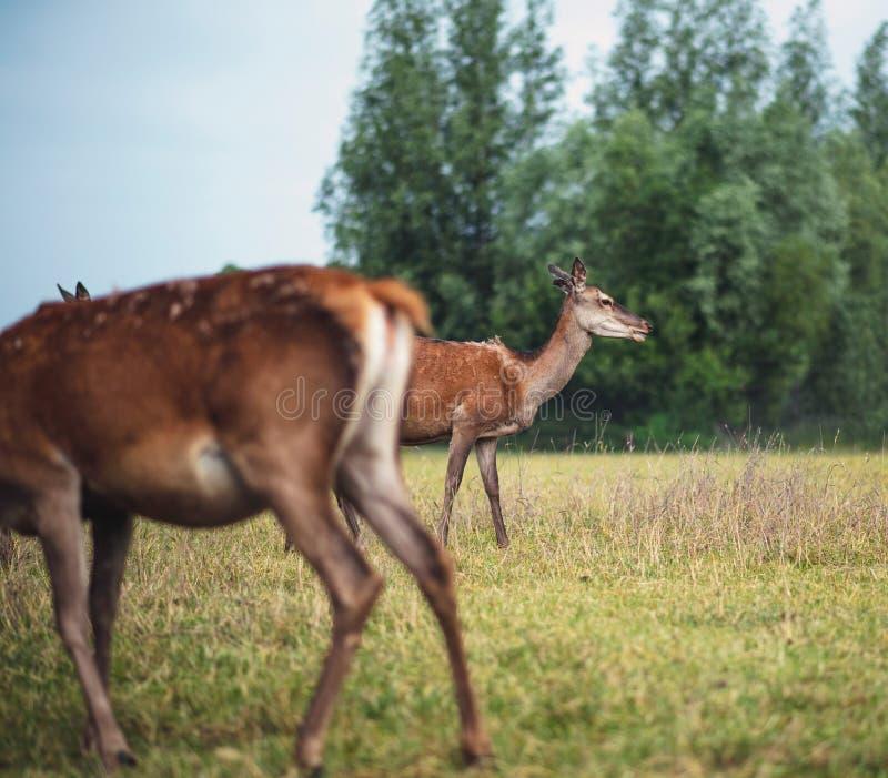 Δύο κόκκινα ελάφια hinds στο λιβάδι κοντά στο θάμνο στοκ εικόνες με δικαίωμα ελεύθερης χρήσης