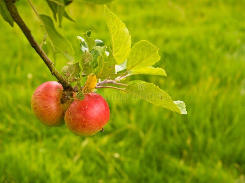 Δύο κόκκινα μήλα στοκ εικόνες