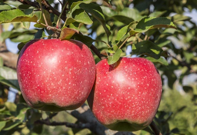 Δύο κόκκινα ώριμα μήλα κρεμούν σε έναν κλάδο ενός δέντρου μηλιάς στοκ εικόνα