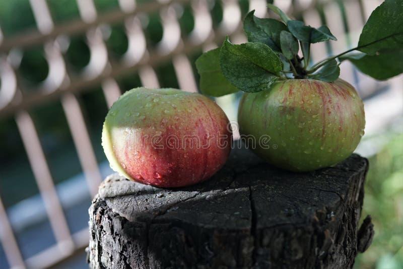 Δύο κόκκινα ώριμα juicy μήλα βρίσκονται σε ένα ξύλινο κολόβωμα με ένα δέντρο ασβέστη μια ηλιόλουστη θερινή ημέρα στοκ εικόνες με δικαίωμα ελεύθερης χρήσης