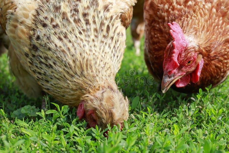 Δύο κότες πουλερικών περπατούν στην πολύβλαστη πράσινη χλόη στο ναυπηγείο του αγροκτήματος την άνοιξη και ραμφίζουν στοκ εικόνα