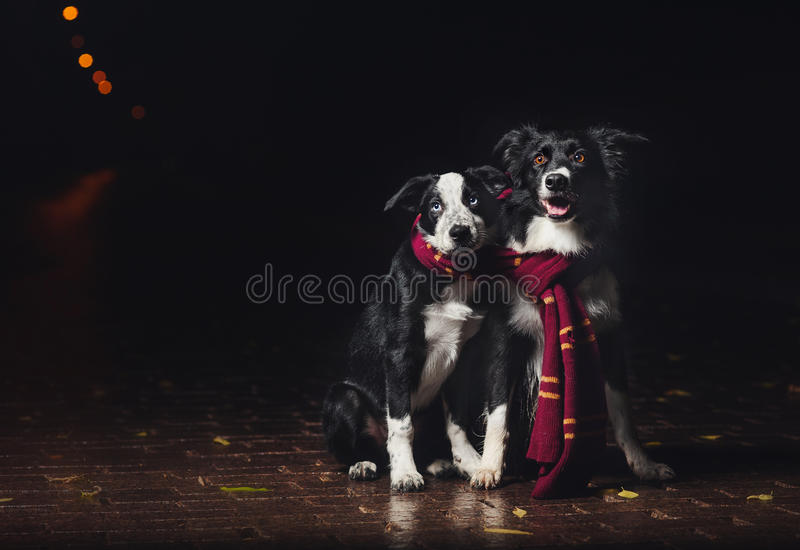 Δύο κόλλεϊ συνόρων σκυλιών στοκ φωτογραφίες με δικαίωμα ελεύθερης χρήσης