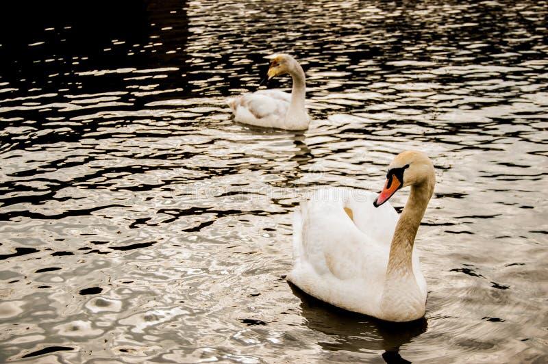Δύο κύκνοι στο νερό στοκ φωτογραφία με δικαίωμα ελεύθερης χρήσης