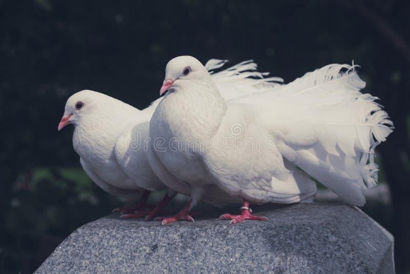 Δύο λευκά σαν το χιόνι περιστέρια στοκ φωτογραφία με δικαίωμα ελεύθερης χρήσης