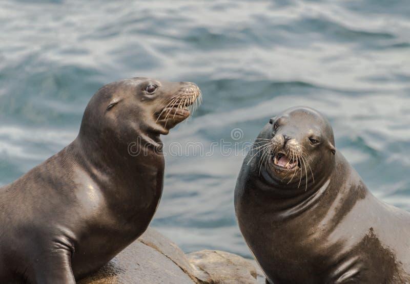 Δύο λιοντάρια θάλασσας στη δύσκολη ακτή στη Λα Χόγια Καλιφόρνια, ΗΠΑ στοκ εικόνες