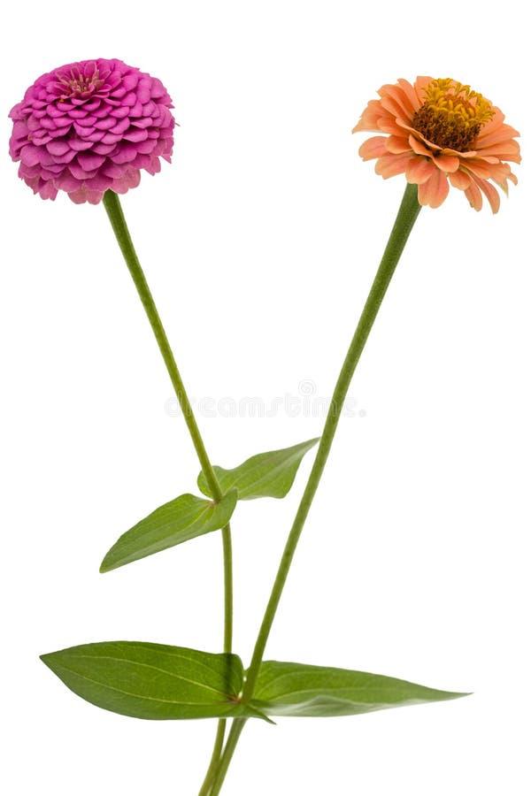 Δύο λουλούδια της Zinnia, που απομονώνονται στο άσπρο υπόβαθρο στοκ φωτογραφία