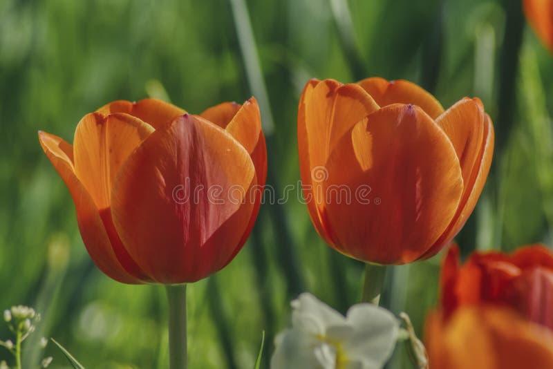 Δύο λουλούδια τουλιπών σε ένα πράσινο θολωμένο υπόβαθρο, μεγάλα πέταλα λουλουδιών στοκ εικόνες