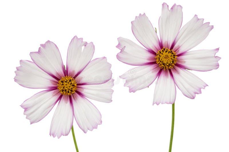 Δύο λουλούδια του κόσμου, λουλούδια kosmeya, που απομονώνονται στο άσπρο υπόβαθρο στοκ φωτογραφία με δικαίωμα ελεύθερης χρήσης
