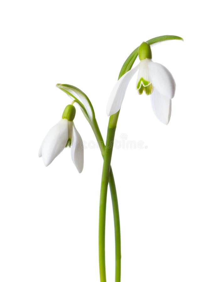 Δύο λουλούδια snowdrop που απομονώνονται στο άσπρο υπόβαθρο στοκ εικόνα με δικαίωμα ελεύθερης χρήσης