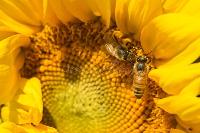 Δύο μέλισσες μελιού που προμηθεύουν με ζωοτροφές σε έναν ηλίανθο στο Κοννέκτικατ στοκ εικόνα