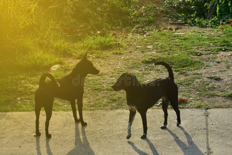 Δύο μαύρα σκυλιά στέκονται να παλεψουν το ένα το άλλο στο υπόβαθρο τομέων και ηλιοβασιλέματος στοκ φωτογραφία με δικαίωμα ελεύθερης χρήσης