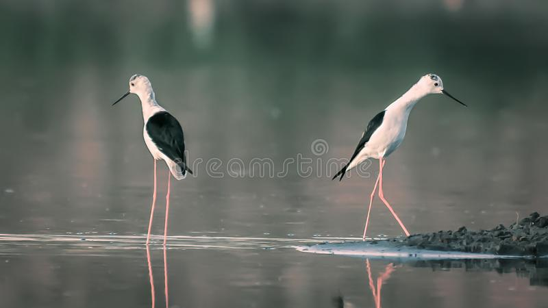 Δύο μαύρος-φτερωτά ξυλοπόδαρα που χωρίζονται ο ένας με τον άλλον στοκ εικόνα