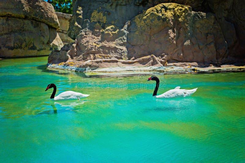 Δύο μαύρος-necked κύκνοι στοκ φωτογραφία με δικαίωμα ελεύθερης χρήσης