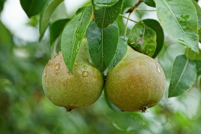 Δύο μεγάλα υγρά πράσινα αχλάδια σε έναν κλάδο με τα φύλλα στοκ εικόνες με δικαίωμα ελεύθερης χρήσης