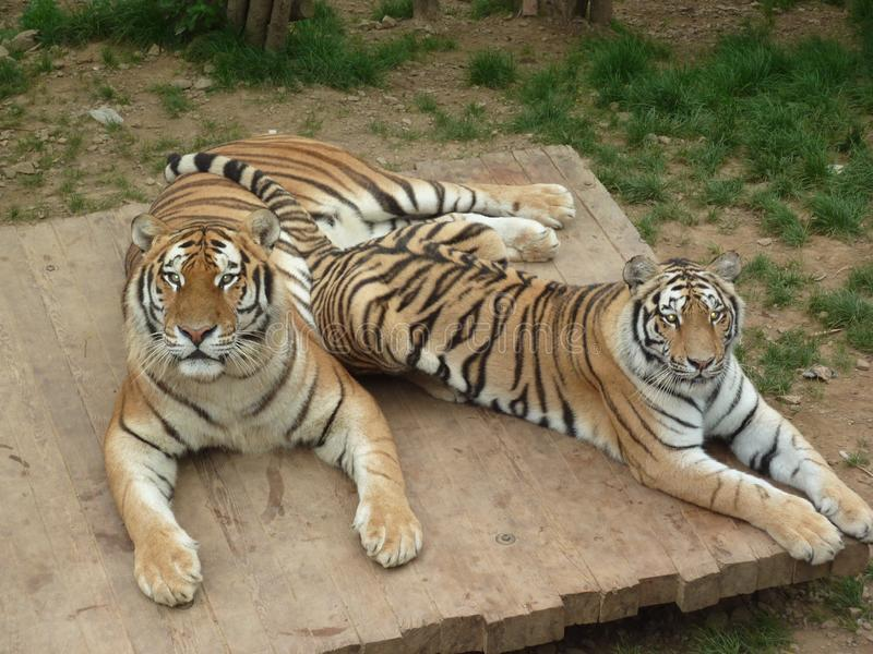 Δύο μεγάλες τίγρες κοιτάζουν επίμονα σε με ριγωτό κτήνος του θηράματος στοκ φωτογραφίες με δικαίωμα ελεύθερης χρήσης