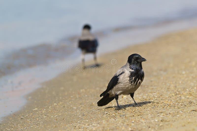 Δύο με κουκούλα κόρακες lat Corvus cornix στην αμμώδη παραλία Εστίαση στο μέσο πουλί στοκ εικόνα