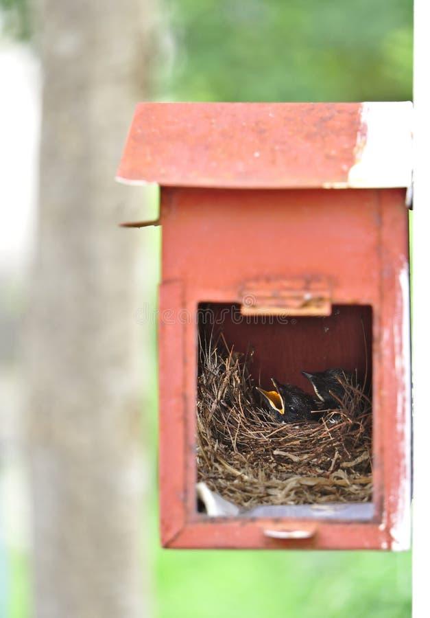 Δύο μικρά μαύρα ασιατικά πουλιά του Robin κισσών καθορίζουν στη μικρή άνετη καφετιά ξύλινη φωλιά στην παλαιά σκουριασμένη κόκκινη στοκ εικόνες