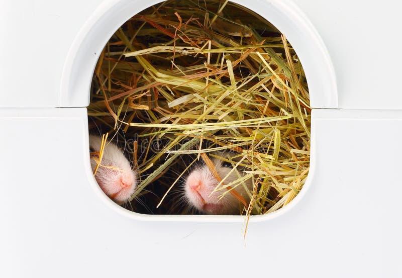 Δύο μικρά ποντίκια που κολλούν τις μύτες από την τρύπα στοκ φωτογραφία