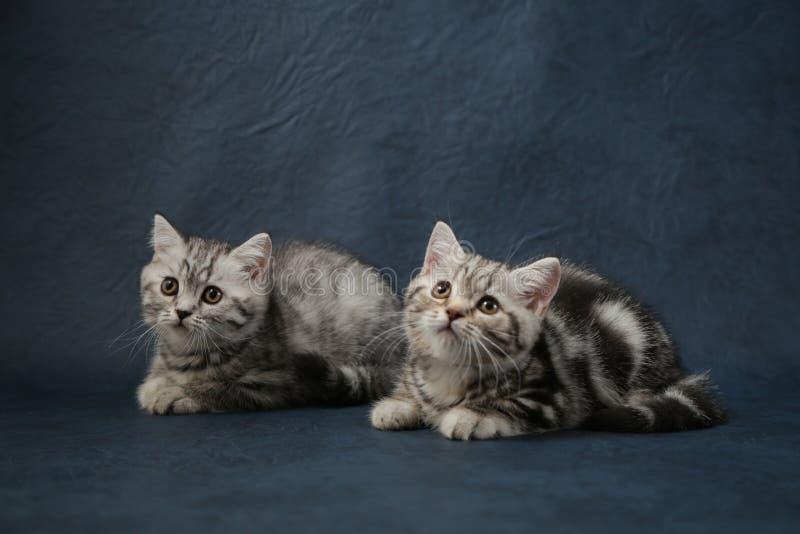 Δύο μικρά ριγωτά νέα γατάκια που κάθονται σε ένα σκούρο μπλε backgroundckground στοκ εικόνες