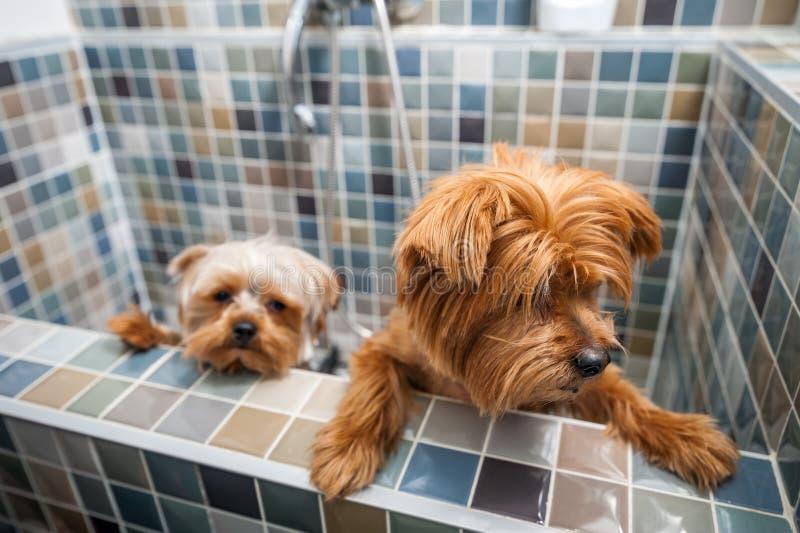 Δύο μικρά χαριτωμένα και όμορφα καθαρής φυλής σκυλιά τεριέ του Γιορκσάιρ ` σχετικά με την προσπάθεια να δραπετεύσουν από την μπαν στοκ φωτογραφία με δικαίωμα ελεύθερης χρήσης
