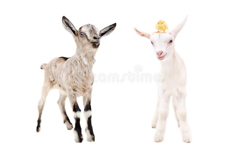 Δύο μικρά goatlings με το κοτόπουλο στο κεφάλι στοκ φωτογραφίες με δικαίωμα ελεύθερης χρήσης